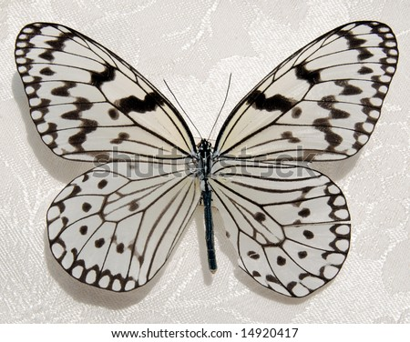 Black and White Butterfly - stock photo