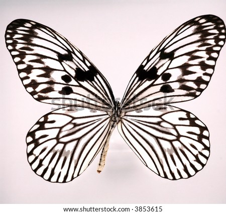 black and white butterfly - mounted - stock photo