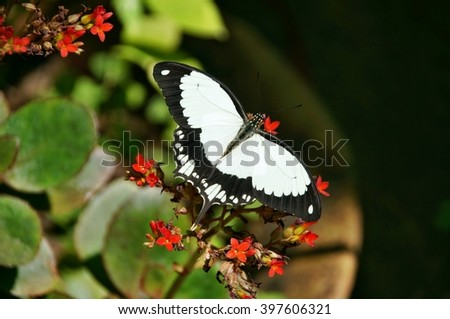 Black and white butterfly on a flower in Kipepeo Butterfly Farm, Kenya - stock photo