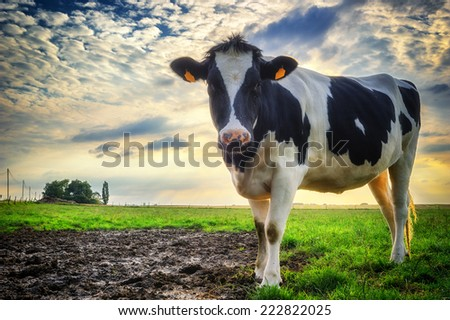 Black and white calf at green field - stock photo