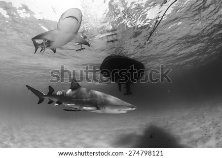 Black and white capture of 2 lemon shark swimming under a boat at Tiger beach, Bahamas - stock photo