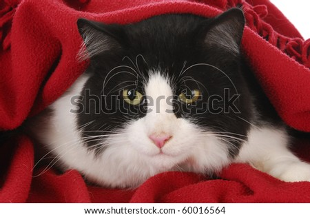 black and white cat hiding under red blanket