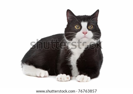 black and white cat in front of a white background - stock photo