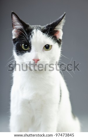 Black and white cat isolated on grey background - stock photo