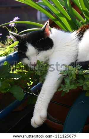Black and white cat laying on a pot of catmint. - stock photo