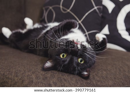 Black and White cat laying on his back on a couch - stock photo