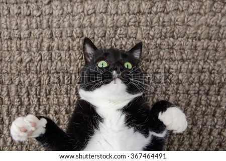 Black and White cat laying on his back on carpet - stock photo