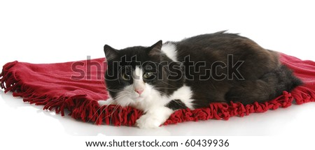 black and white cat laying on red blanket with reflection on white background