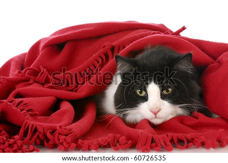 black and white cat laying under red blanket on white background - stock photo