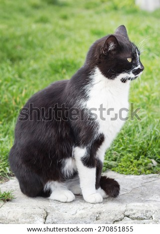Black and white cat on a background of green grass
