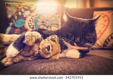 Black and White cat sleeping in the sun hugging a teddy bear in the late afternoon sunlight.  Instagram toned effect. Shallow focus, on bear's nose and cat's nose. - stock photo