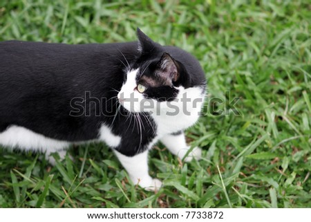 Black and white cat stalks something in the grass. - stock photo