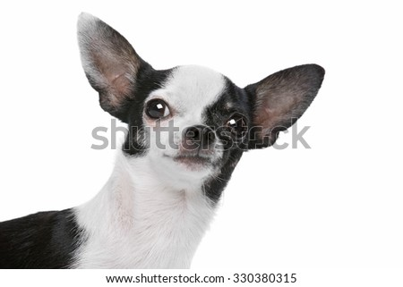 Black and White Chihuahua dog in front of a white background