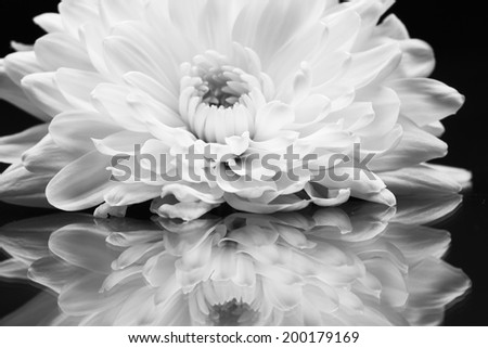 Black and white chrysanthemum flower with details  - stock photo