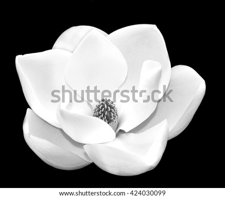 Black And White Close Up Image Of A White Southern Magnolia Blossom (Magnolia grandiflora), the Louisiana State Flower.