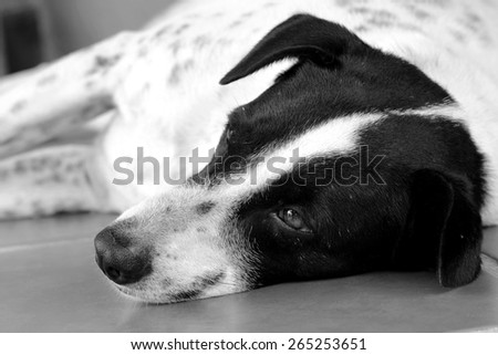 Black and white close up of a black and white dalmatian dog no purebred laying on the floor. - stock photo