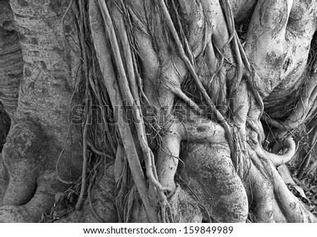 Black and white close up of gnarly tree roots