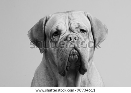 Black-and-white close up portrait of French Mastiff - stock photo