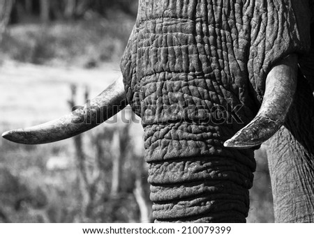 Black and white closeup of an elephant's trunk and tusks - stock photo