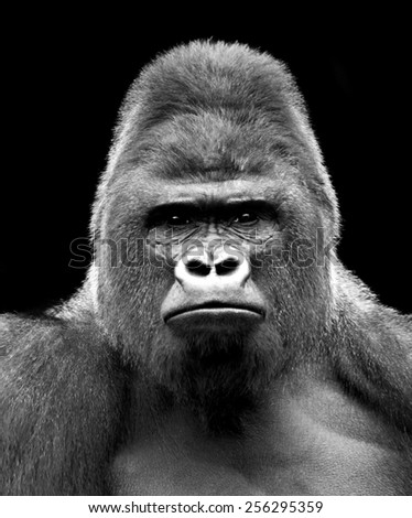 Black and white closeup portrait of a gorilla male, severe silverback. Grave look of the great ape, the most dangerous and biggest monkey of the world. The chief of a gorilla family.  - stock photo