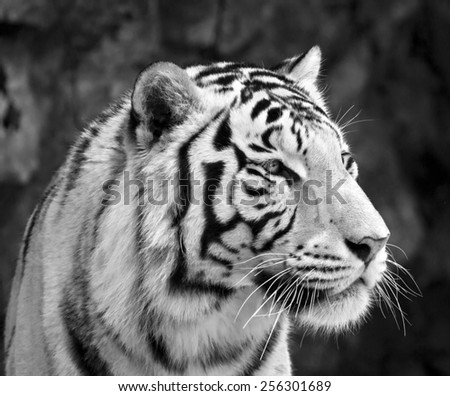 Black and white closeup portrait of white bengal tiger. The most dangerous beast shows his calm greatness. Wild beauty of a severe big cat.  - stock photo