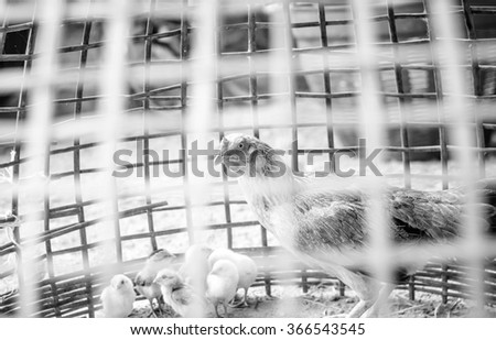Black and white color with hen and chicks,chicken in a coop,Focus on eye of hen - stock photo