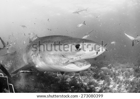 Black and white colse up with a Tiger shark, Tiger beach, Bahamas - stock photo