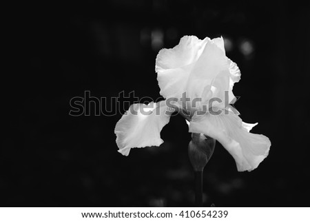 Black and white contrast image of a blooming iris flower lit by sun light over back background with free space