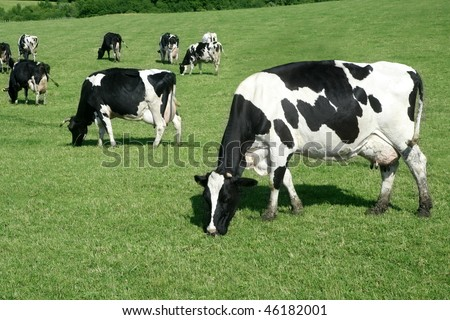 Black and white cow eating green meadow grass - stock photo