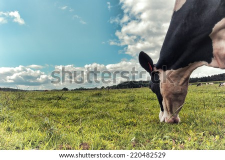 Black and white cow grazing at green field - stock photo