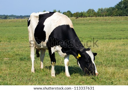 Black and white cow in a farmland in Holland - stock photo