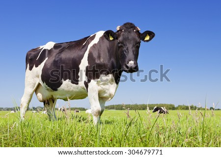 Black and white cow in a grassy field on a bright and sunny day in The Netherlands. - stock photo