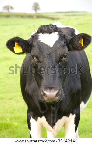 Black and white cow in pasture. Wiltshire. England - stock photo
