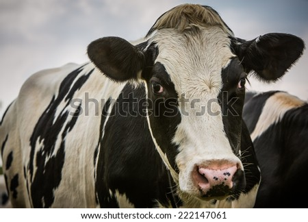 Black and white cow looking at camera close-up. - stock photo