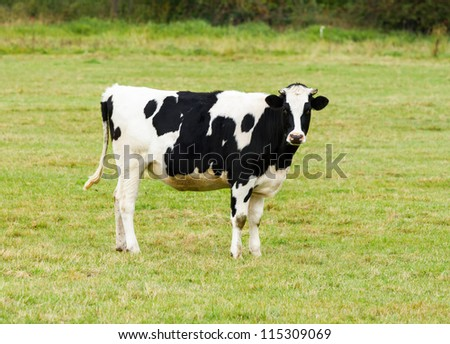 Black and white cow looking for the photograph - stock photo