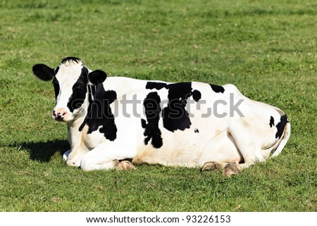 Black and white cow lying down on green grass - stock photo