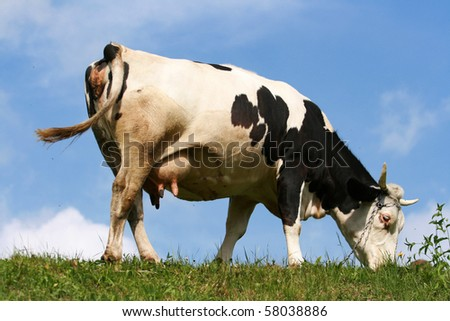 Black and white cow, pasture and blue sky - stock photo