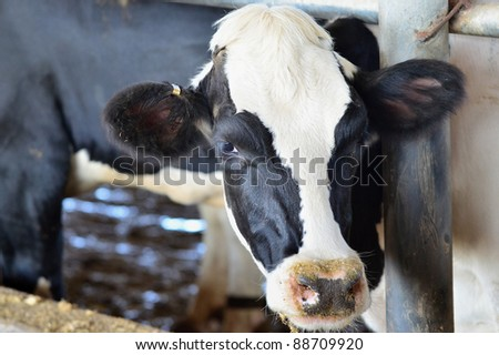 Black and white cows in a farm cowshed.