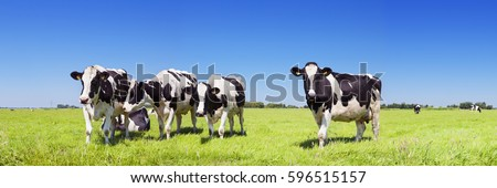 Black and white cows in a grassy field on a bright and sunny day in The Netherlands.