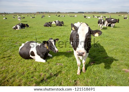black and white cows in a meadow in The Netherlands - stock photo