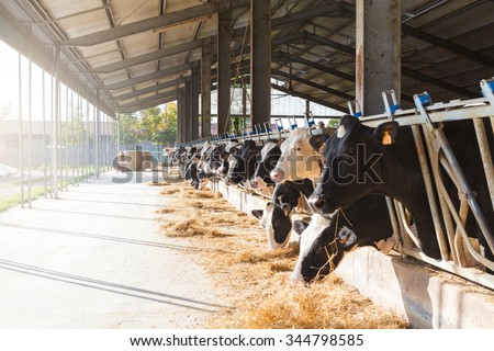 Black and white cows in large cowshed eating hay - stock photo