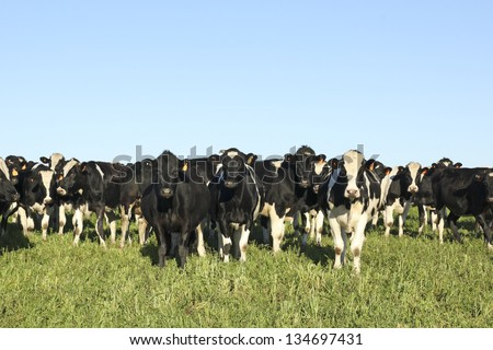 Black and white cows on a farm in rural America. The beef cattle industry is one of the most important activities in Latin American countries such as Argentina, Brazil and Uruguay. - stock photo