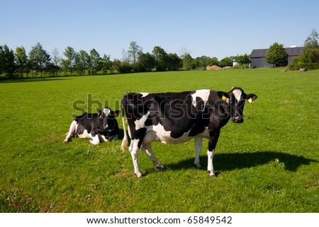 Black and white cows on a farmland - stock photo