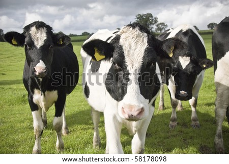 Black and white cows. Waltshire farm, UK. - stock photo