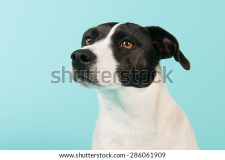 Black and white cross breed dog on blue background - stock photo