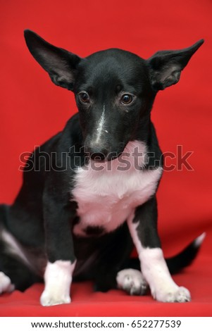 Dachshund Mix Stock Images, Royalty-Free Images & Vectors ...
