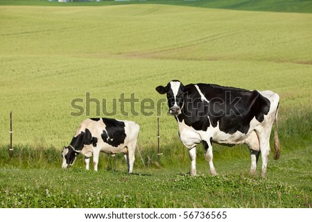 Black and white dairy or jersey cow in the pasture - stock photo