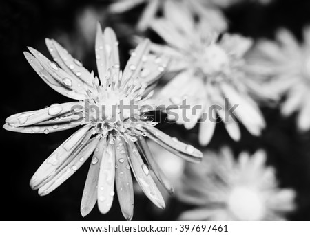 Black and white daisy flower with water drops on petals - stock photo
