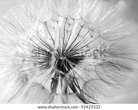 Black and white dandelion flower background, extreme closeup with soft focus