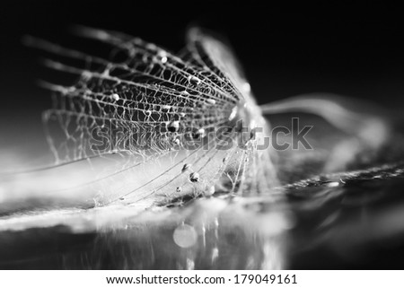 Black and white dandelion seed with waterdrops on dark background - stock photo
